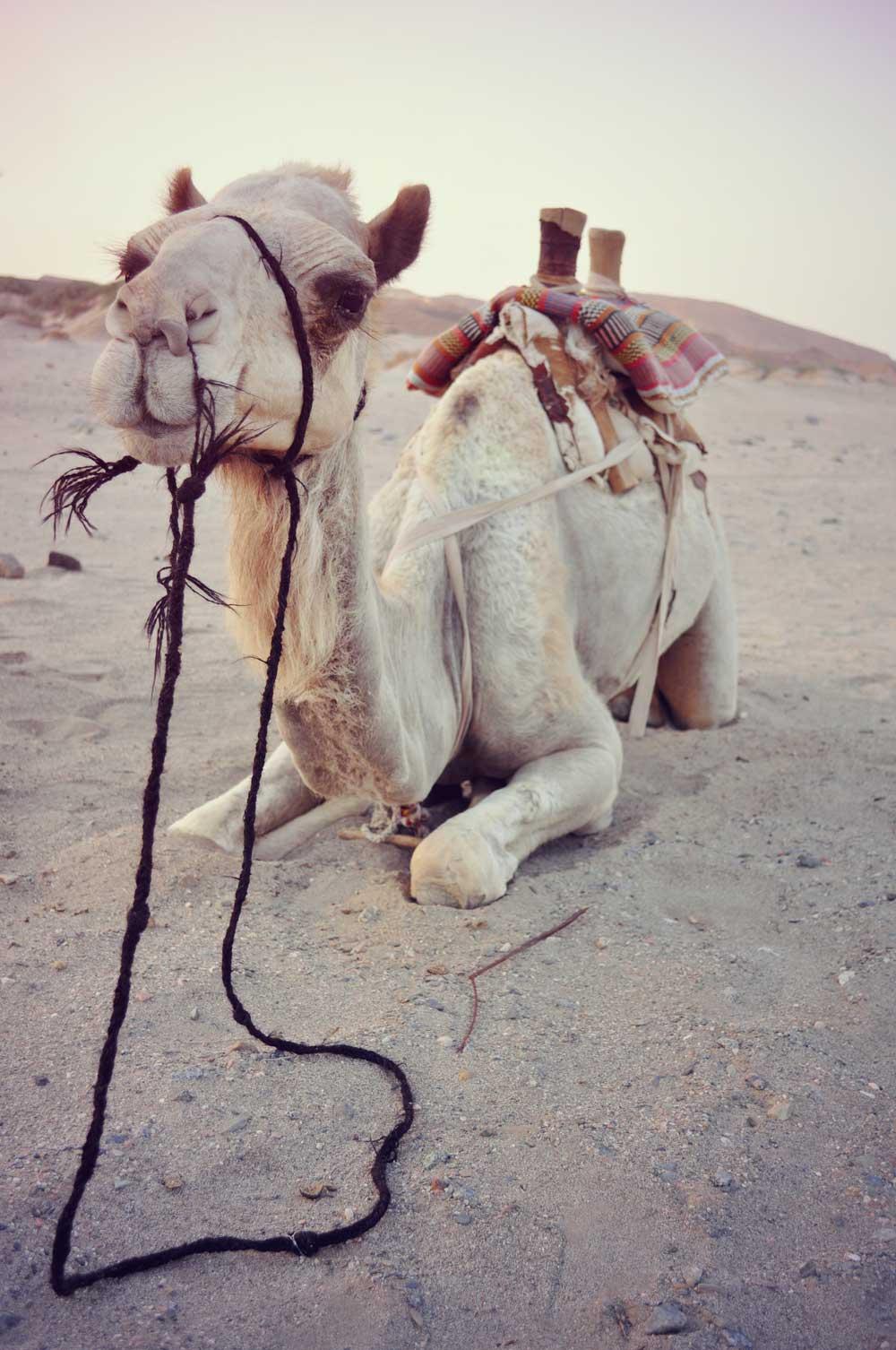 cammello deserto abu dhabi